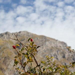Monte Corvo e rosa selvatica