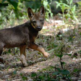 Cucciolo di lupo nel Parco Nazionale del Gran Sasso e Monti della Laga