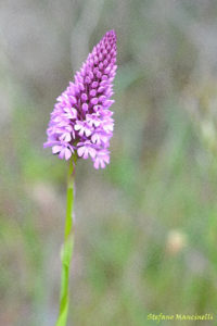 Anacamptis pyramidalis (Orchidea Piramidale) - 2