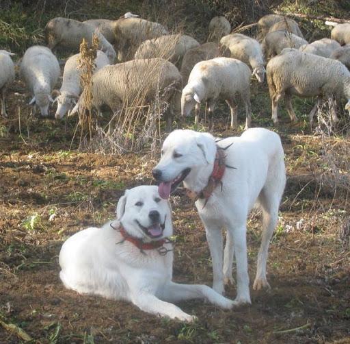 cani da guardiania con vreccale